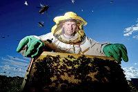 Пчеловод собирает мед на пасеке