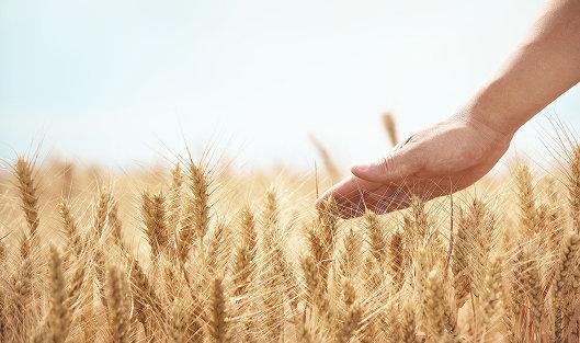 # Урожай пшеницы