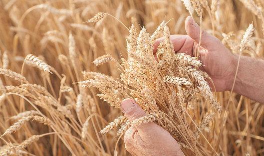 Закупочные интервенции: Ставрополье вновь продает пшеницу