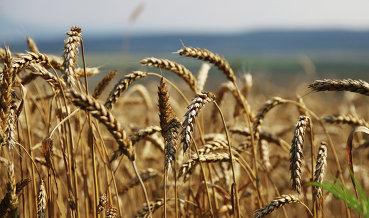 Россия в 2017 году собрала рекордные 134 млн тонн зерна