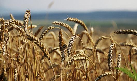 825136288 - Россия в 2016 г увеличила сбор зерна на 13,6%, до 119,1 млн тонн