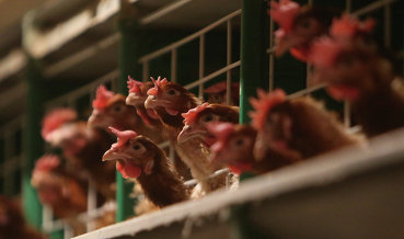 Британия может начать импорт обработанной хлором курятины из США после Brexit - эксперты