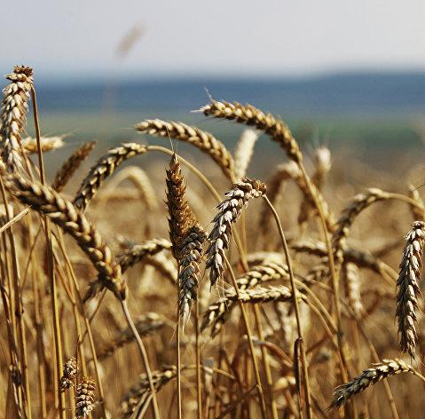 828991041 - Экспорт зерна из РФ превысил прогноз Минсельхоза в 53 млн т