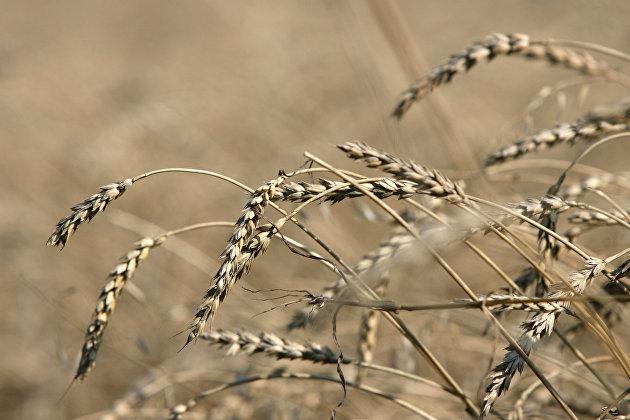 %Пшеница