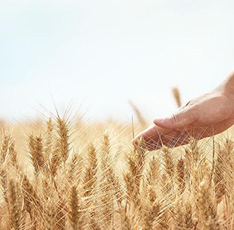 829048665 - Увеличение экспорта зерна в Китай даст толчок развитию Сибири