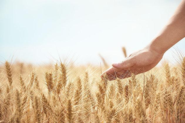 829048669 - Увеличение экспорта зерна в Китай даст толчок развитию Сибири