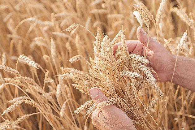 Урожай зерна в России в 2019 году составил 120,6 млн тонн