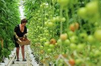Работница теплицы собирает томаты