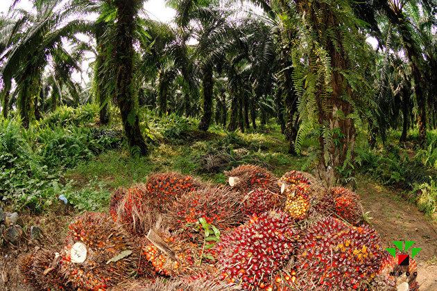 Россия значительно нарастила ввоз пальмового масла